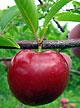 crop-plum